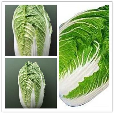河北省保定市黄牙白白菜 3~6斤