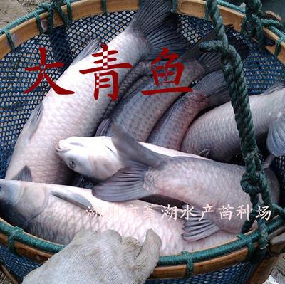 浙江湖州淡水青鱼 人工养殖 10-18龙8国际官网官方网站 供应大青鱼