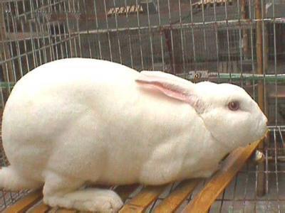 山东济宁新美系獭兔 3-5斤 河南獭兔养殖基地