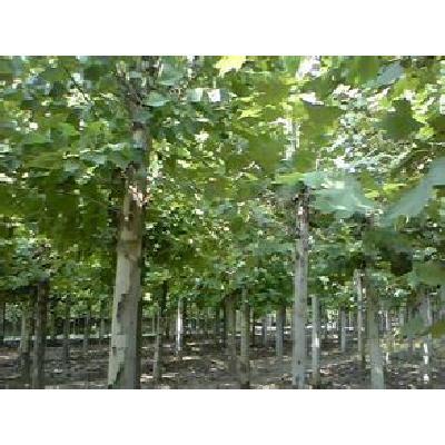 山西运城法桐树 供应5-8公分法桐