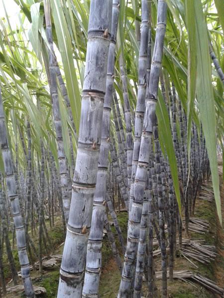 [甘蔗批发]甘蔗价格0元/吨 - 惠农网