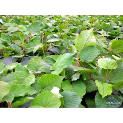 四川雅安名山区猕猴桃种子 销售野生猕猴桃苗