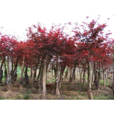 湖南长沙红枫 日本红枫/日本红丝带
