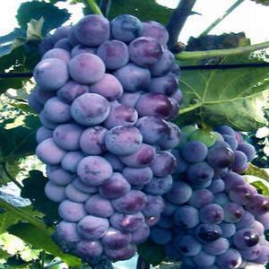 河北省秦皇岛市昌黎县蓝莓种子