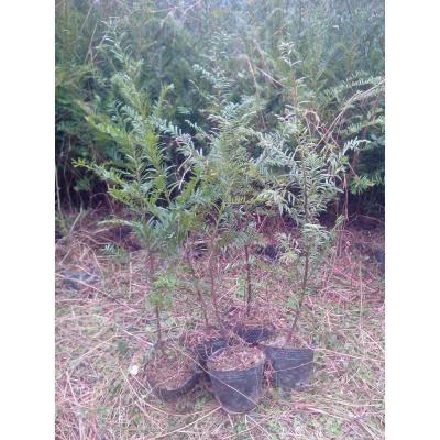 湖南邵阳南方红豆杉 0.5~1米 红豆杉营养杯