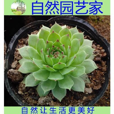 福建漳州观音莲 基地批发多肉盆栽花卉