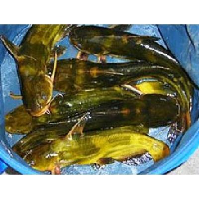 浙江湖州池塘黄颡鱼 人工殖养 0.1公斤 大量黄颡鱼 大小都有 专送垂钓场