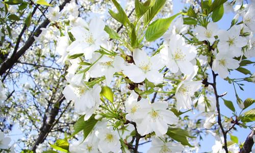 英超外围 -梨树正值花期 如何处理才能多结果?