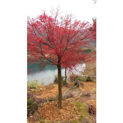 广西桂林三季红 桂花
