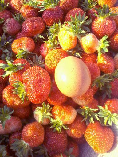 黑龙江省哈尔滨市尚志市维斯塔尔草莓苗