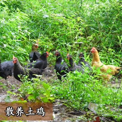 湖南邵阳土鸡 3-4斤 统货 散养土鸡出售