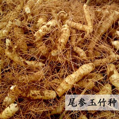 湖南邵阳药材类种子种苗玉竹种苗