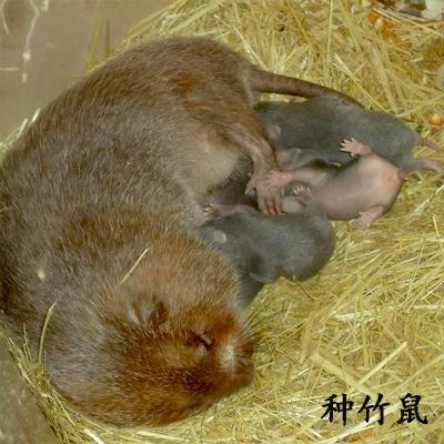 湖南邵阳小竹鼠 1-2斤 竹鼠 种苗
