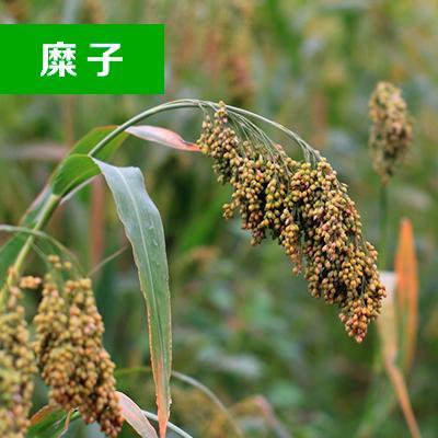 内蒙古赤峰糜子黍子