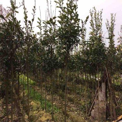 浙江杭州天香 萧山米径10公分及以下树出售