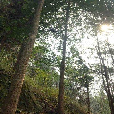 贵州遵义重阳木 大量出售10-20公分