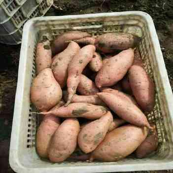 龍薯九號 3兩~6兩 紅皮