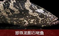 珍珠龍膽石斑魚