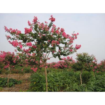 湖南长沙紫薇树 优质树出售