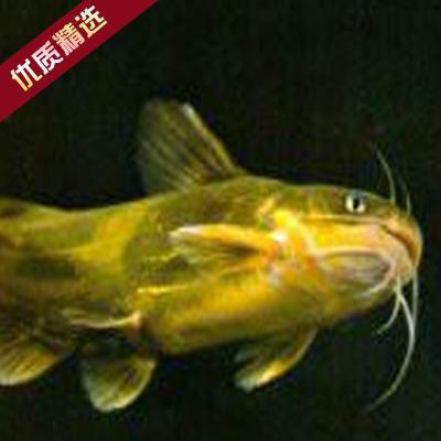 广东广州黄颡鱼苗 全雄性黄颡
