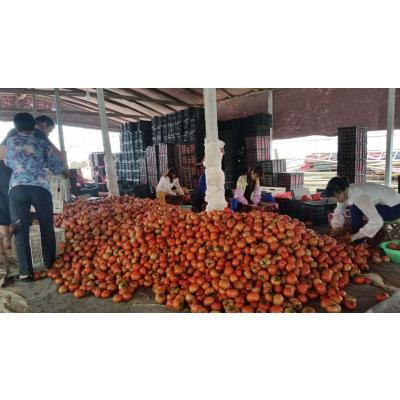 山东聊城硬红西红柿9月20大量上市