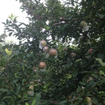 果園直銷,紅富士蘋果,規格85、90歡迎來電咨詢洽談購買。