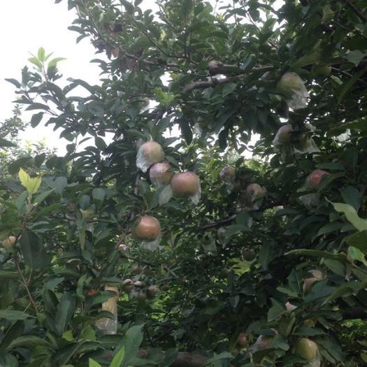 河北省邯鄲市邱縣 果園直銷,紅富士蘋果,規格85、90歡迎來電咨詢洽談購買。
