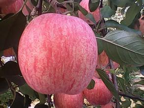 重慶市潼南區紅富士蘋果