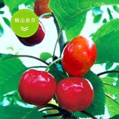 四川雅安甜樱桃 20mm以上 车厘子 樱桃