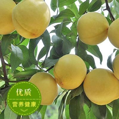 湖南株洲炎陵县炎陵黄桃 45mm以上 2 - 3两 株洲