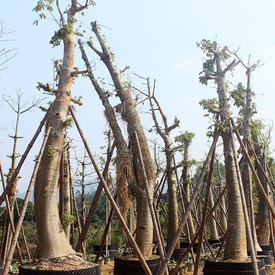 福建漳州猴面包树大型落叶乔木波巴布树非洲猢狲木澳洲酸瓠树 植物园布置