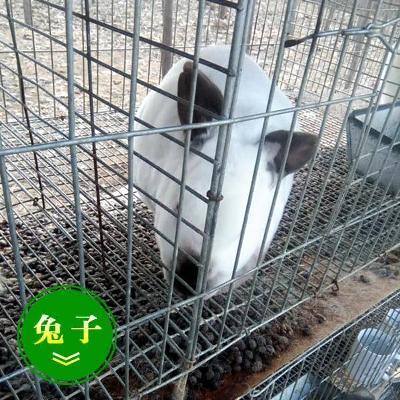 山东菏泽肉兔 3-5斤 肉兔3~5斤出售