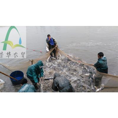 湖南益阳池塘草鱼 人工养殖 0.25-1公斤 洞庭湖原生态