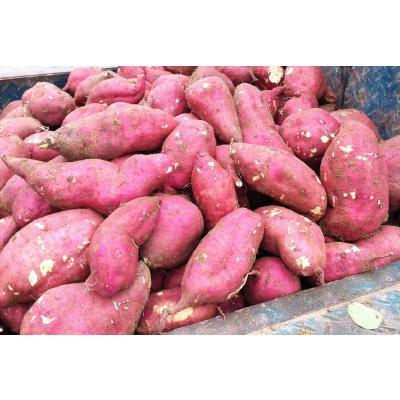山东枣庄龙薯九号 1~3两 红皮 地瓜