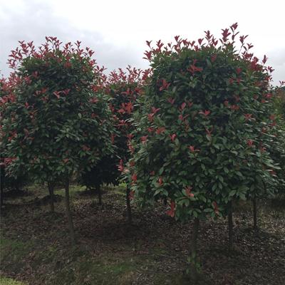 湖南益阳红叶石楠柱  红叶石楠树干直径4厘米至8厘米高3米以修枝大量批发
