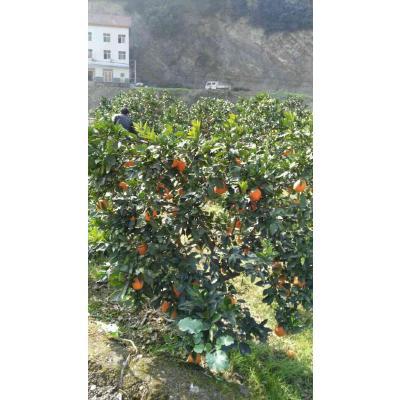 这是一张关于夏橙的产品图片
