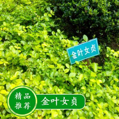 这是一张关于金叶女贞 江苏沭阳县金叶供应的产品图片