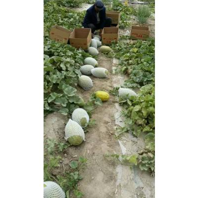 新疆喀什新疆喀什伽师瓜 全程有机肥料种植 含糖量高 皮薄 合作社直供
