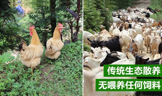 牯牛山高山山羊养殖场基地
