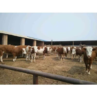 山西忻州夏洛莱牛 200-300斤 公牛 出售各种品种肉牛,价格优,品种好,大小都有需要的可以联系我