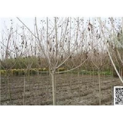 四川成都木芙蓉工程苗木价格 全是1.5米定杆独杆木芙蓉