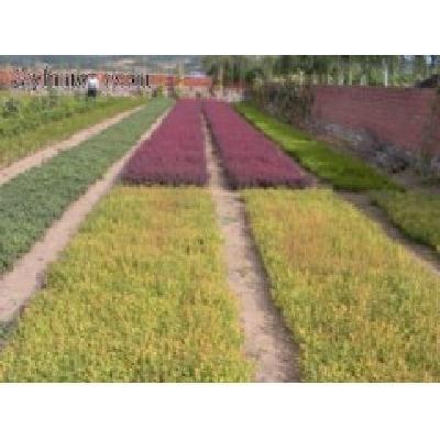 辽宁出售金叶水腊小苗、紫叶水腊小苗