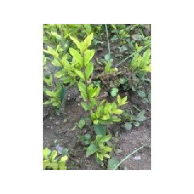 辽宁靠山镇苗农直销高10厘米以上金叶水腊 紫叶水腊扦插苗
