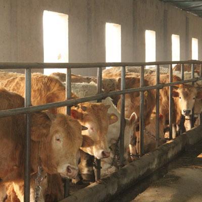 河南南阳南阳牛 800-1000斤 公牛 育肥牛