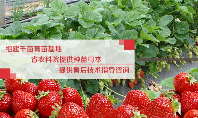 浙江省建德市杨村桥镇绪塘村草莓苗基地