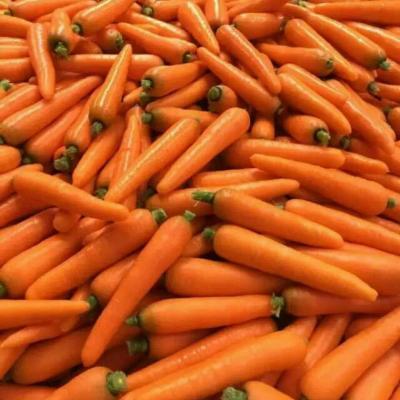 甘肃定西胡萝卜
