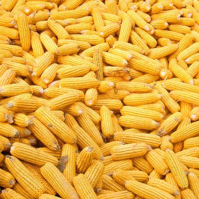 安徽宿州太豫605玉米