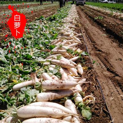 河北张家口白萝卜 0.2~1斤 萝卜