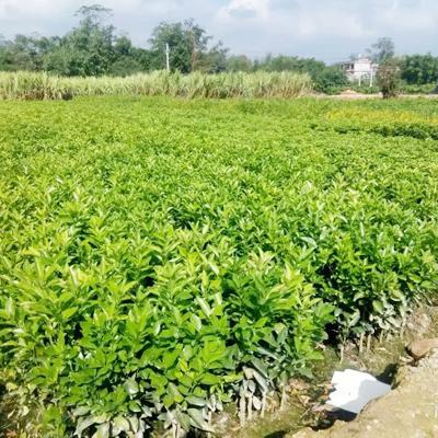 广西钦州果树苗 0.5~1米 脆皮金桔苗