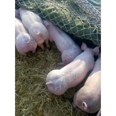 山东临沂好品种仔猪销售单个380元起